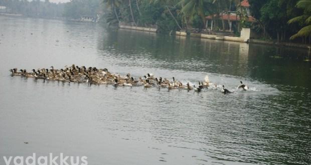 A flock of ducks swimming on a backwater in Kuttanad Kerala