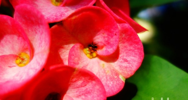 Crown of Thorns Flower with a Bee in it