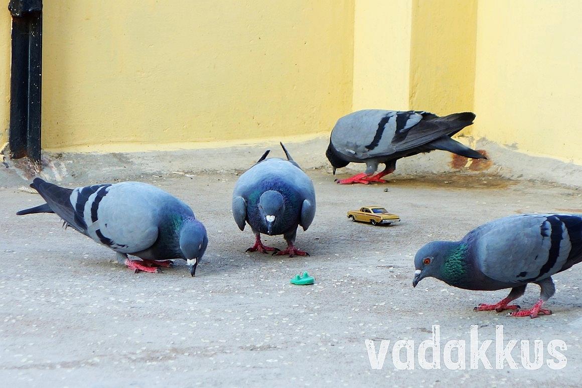 Pigeons eating grain unmindful of a Hot Wheels car