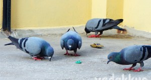 Pigeons eating grain unmindful of a Hot Wheels car