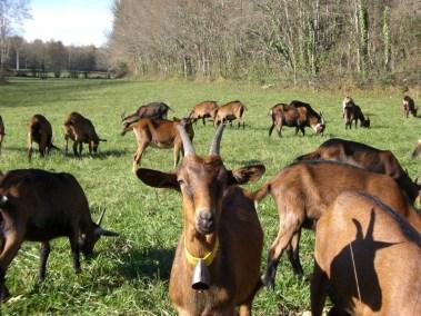 Les chèvres en pâture