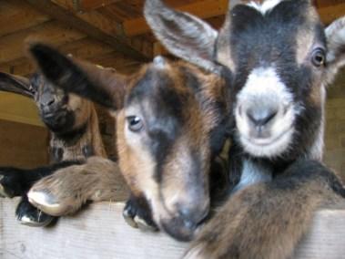 Ces chèvres sont curieuses !