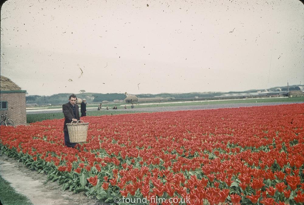 Gathering Tulips