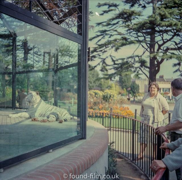 Medium format negatives - Tiger at a Zoo