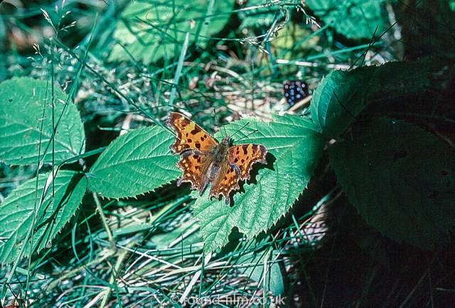 Macro photos on film - Comma butterfly