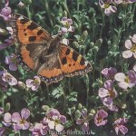 Macro photos on film - Tortoiseshell butterfly
