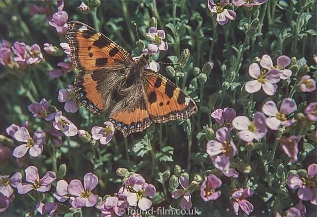 Macro photos on film - Tortoiseshell butterfly