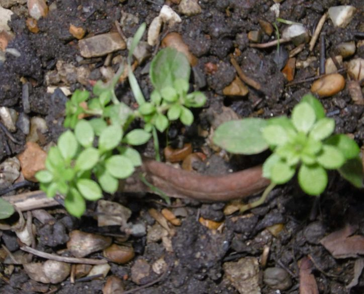 Early Cleavers