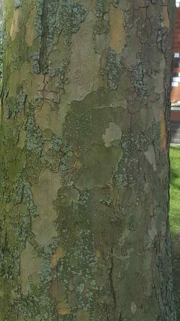 London Plane Tree Mottled Bark