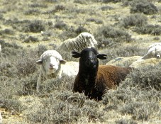 brown and white sheep