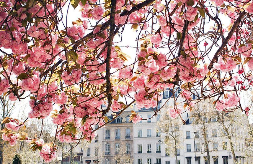 Цветение вишни в Париже — даты [year]
