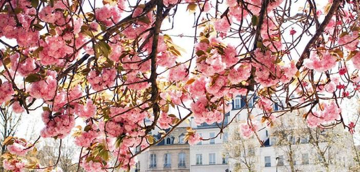 Цветение вишни в Париже: даты и фото