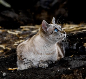 Waikoloa feral cats (2 of 22)