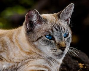 Waikoloa feral cats (4 of 22)