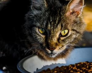 Waikoloa feral cats (6 of 22)
