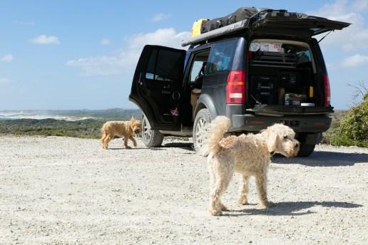 Windswept dogs