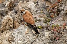 falcon-5