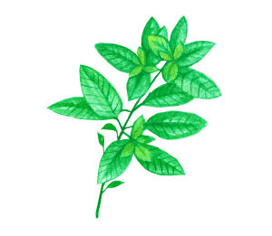 Basil for Tea