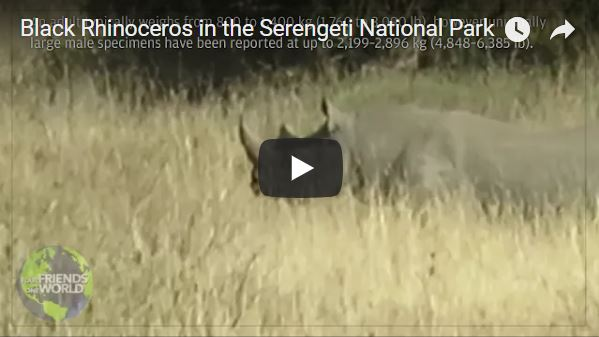 Black Rhinoceros in the Serengeti National Park