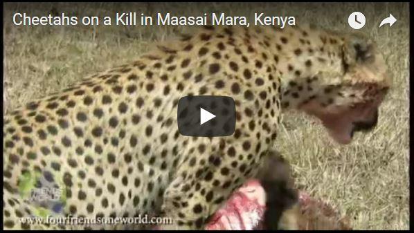 Cheetahs on a Kill in Maasai Mara, Kenya