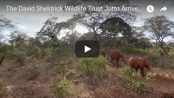 David Sheldrick Wildlife Trust Baby Elephants Arrive