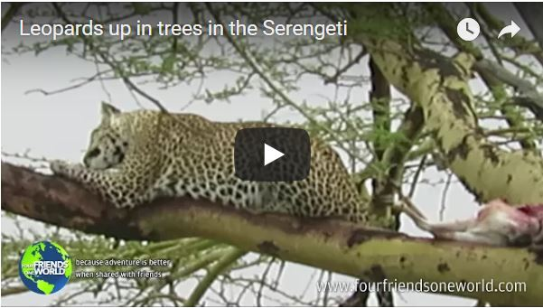 Leopards up in trees in the Serengeti