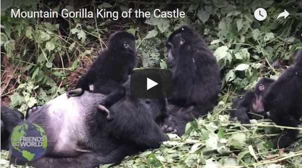 Mountain Gorilla King of the Castle