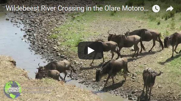 Wildebeest River Crossing Video