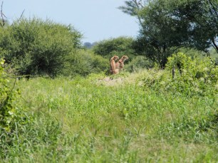cheetah brothers in Tarangire