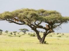 ten lions in an acacia tree