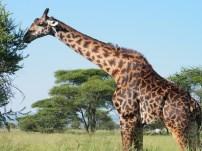 giraffe and oxpecker