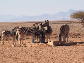 zebra at the water hole
