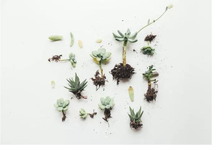 succulentPlantsWhiteBackgroudn.PNG