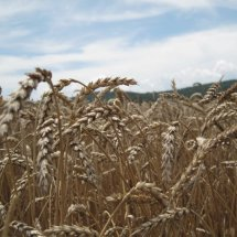 Malted Wheat