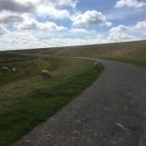 schapen naast de Waddenzee