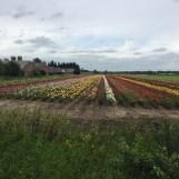 bloemenveld Oirlo, Limburg