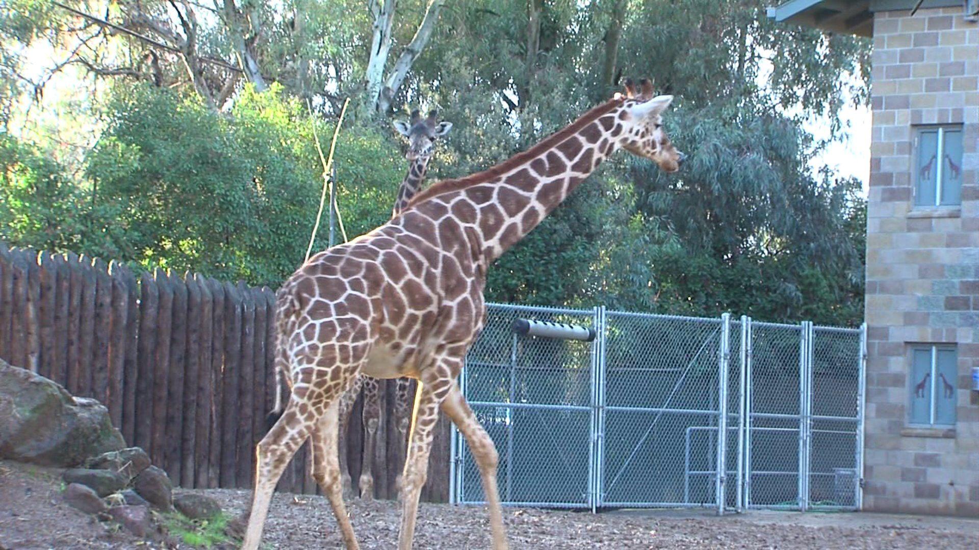 SacZooGiraffes