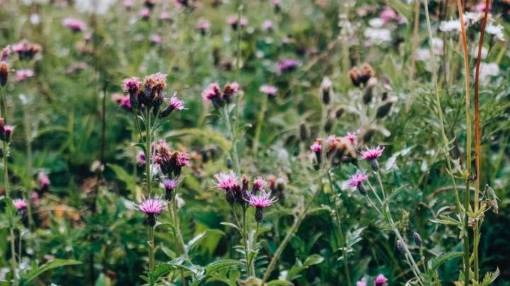 Les fleurs des montagnes en Chartreuse
