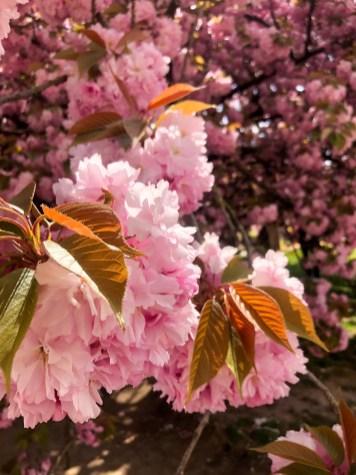 Cerisier du jardin des plantes