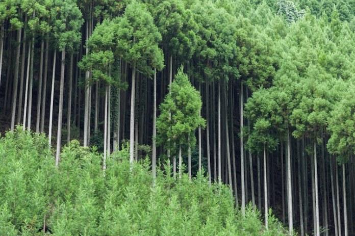 Daisugi forest