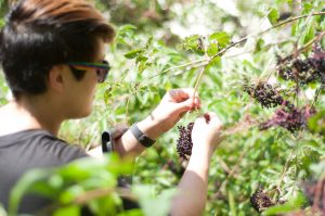 Herb Elderberry Picking Blooming-Fox-Haven forage local herbs herbalismwild edibles plant medicine Frederick MD