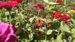 Cut Flowers & Monarch Frederick MD