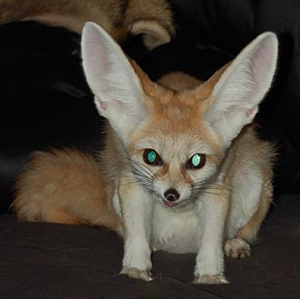 Fennec Foxes The Foxloft
