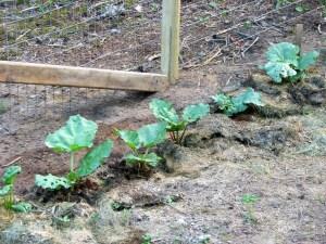 nre rhubard plants