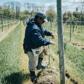 Delfino working the vineyard at Fox Run