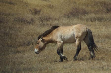 Takhi mare; Hustai National Park, May 2005