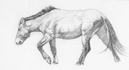 Takhi mare walking; charcoal pencil on cold-press bristol