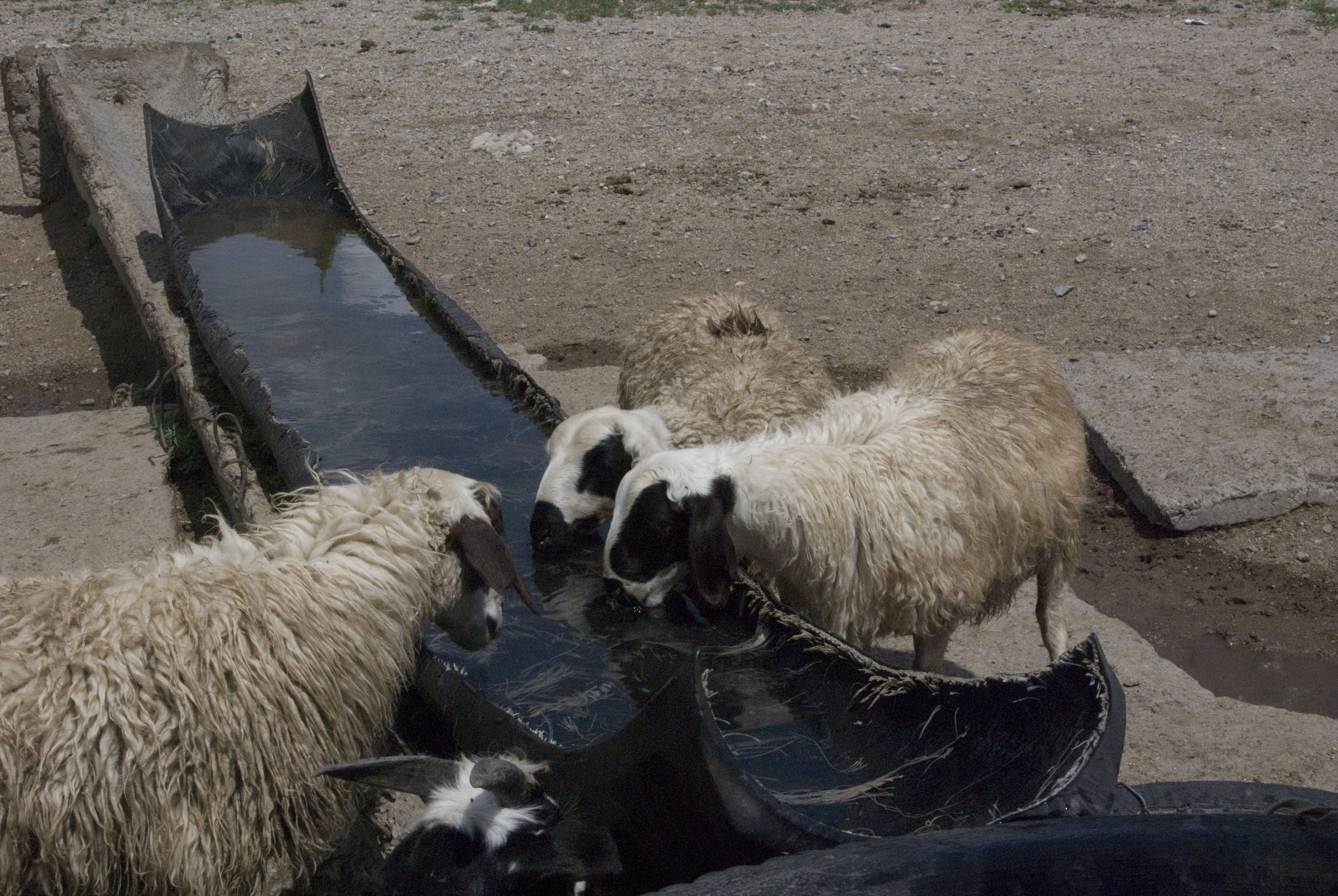 Sheep drinking the cool well water