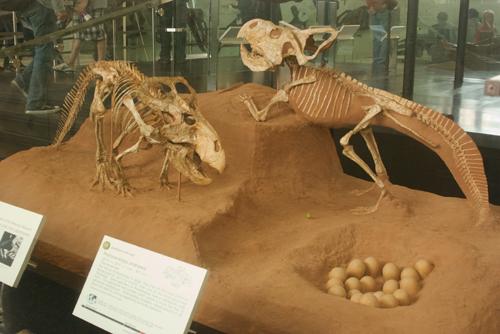 Protoceratops pair
