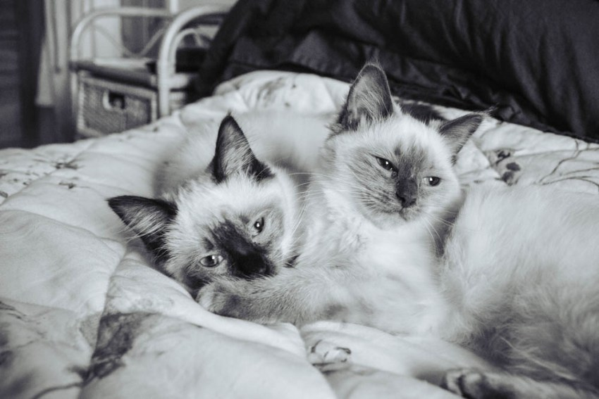 Ragdoll kittens at bridal prep, Leeds.